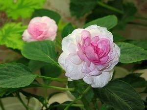 Бальзамин Apple Blossom