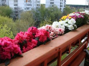 Бегония на балконе