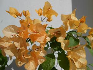 Бугенвиллия Оранжевое танго
