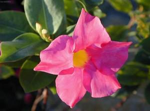 Цветок дипладении