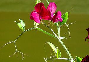 Цветок душистого горошка