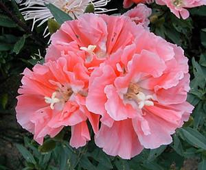 Цветок годеции