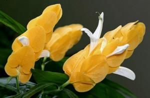 Цветок пахистахиса