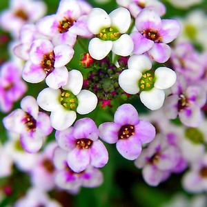 Цветы алиссума