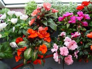 Цветы бальзамина