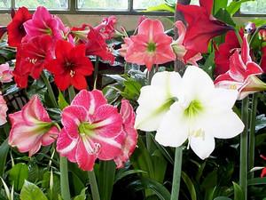 Цветы гиппеаструма
