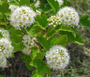 Цветы пузыреплодника
