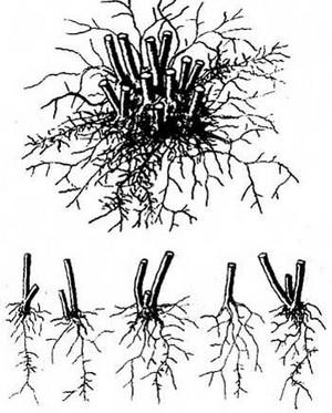 Как производится посадка и уход за анемоной японской и де Каен (фото сортов)