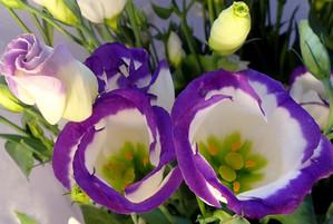 Еустома вирощування і догляд в саду фото