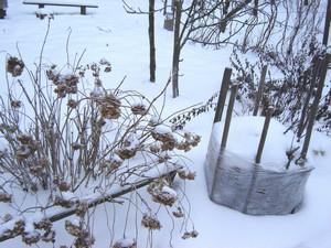 Гортензия зимой