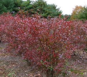 Кусты голубики осенью