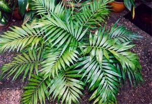 Листья хамедореи