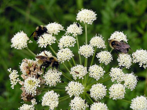 Как осуществляется выращивание любистока лекарственного из семян и уход за ним?