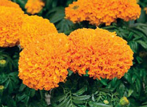 Какие сорта бархатцев наиболее популярны в садоводстве (фото сортов).