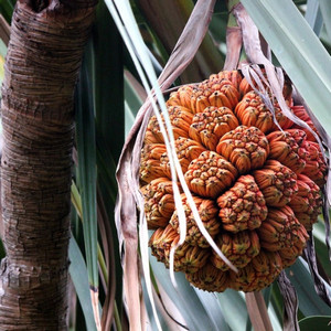 Плод пандануса
