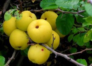 Плоды айвы