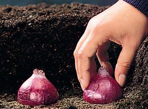 Когда можно сажать гиацинты в саду – весной или осенью?