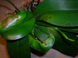 Ржавчина на орхидее