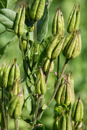 Советы по выращиванию аквилегии из семян в домашних условиях (фото и видео материал)