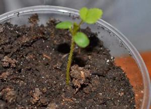 Сеянец семян
