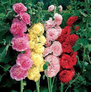 Шток розы в саду