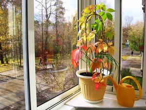 Виноград на окне