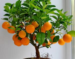 Дерево мандариновое