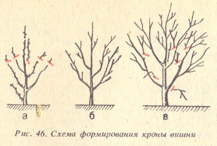 Схема обрезки кроны