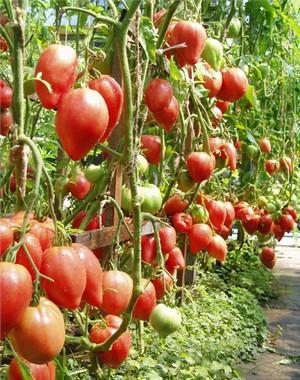 Подробное описание томата сорта Чудо земли (фото плодов)