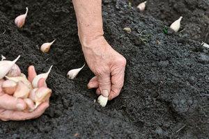 Посадка луковиц чеснока