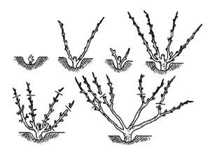 Веерное выращивание