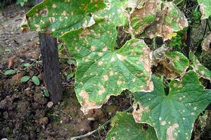 Антракноз на листьях