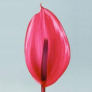Антуриум пересадка и размножение
