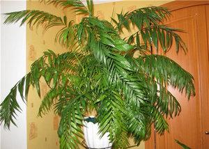 Изящная пальма
