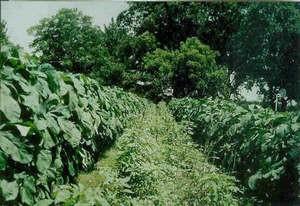 Выращивание бамии
