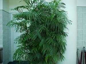 Высокая пальма