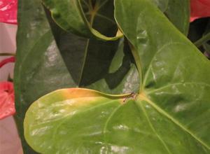 Желтеющий лист