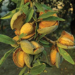 Зреющие плоды