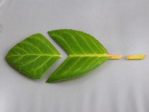 Деление листка