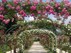Розы на арках