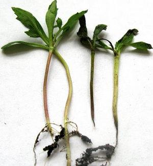 Томатные ростки