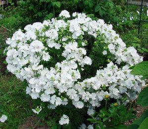 Тюрингская белая