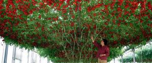 Томат дерево