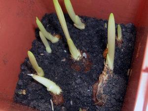 Посадка и уход за цветком фрезии в домашних условиях и открытом грунте