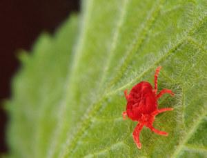 Красный клещ