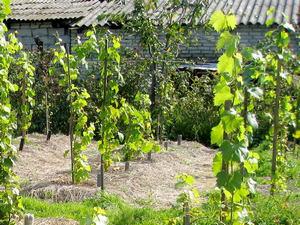 Молодой виноградник