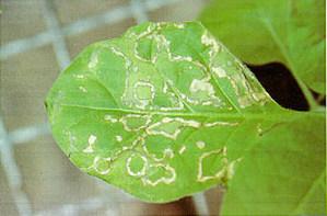 Объеденные листья
