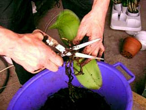 Обрезка гнилых корней