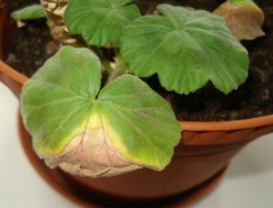 Почему у герани желтеют и сохнут нижние листья?