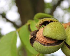 Як посадити горіх